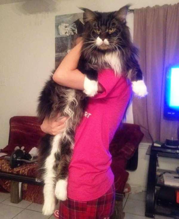 Самая большая порода кошек домашних